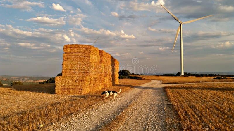Cane che esplora il giacimento di grano fotografia stock