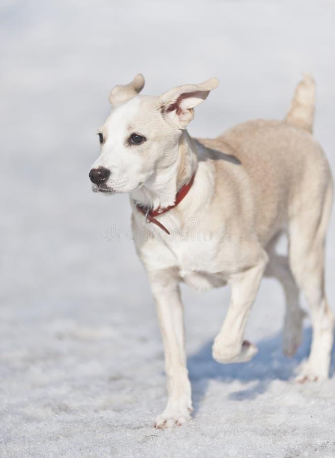 Cane che funziona nella neve fotografia stock libera da diritti