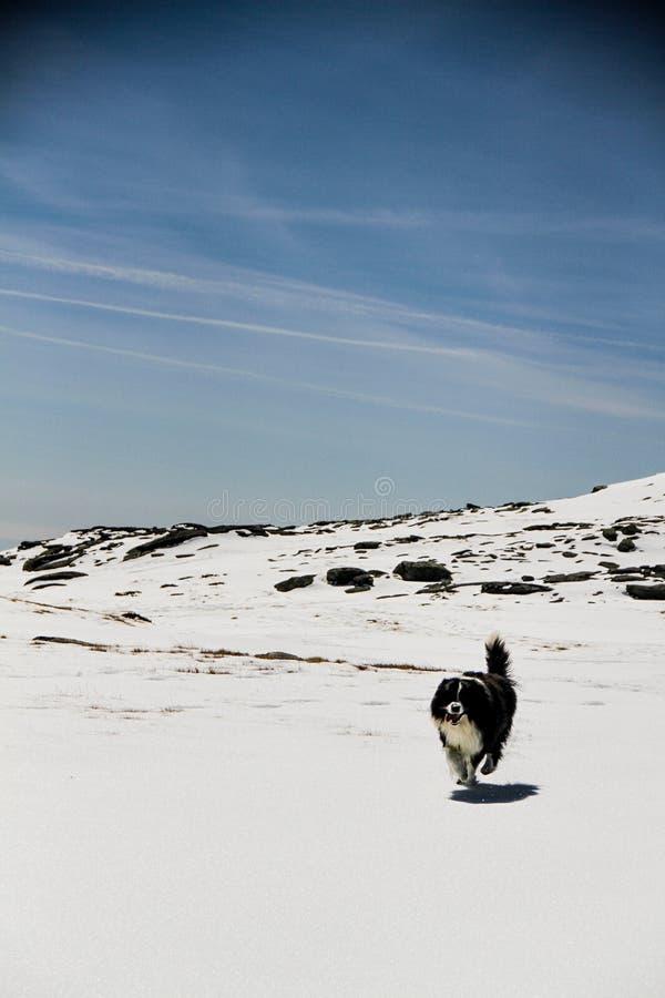 Cane che funziona nella neve immagini stock libere da diritti