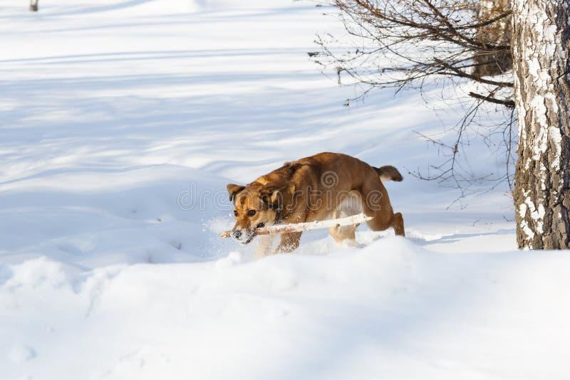 Cane che gioca e che recupera un bastone fotografia stock