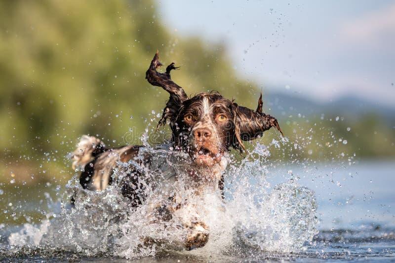 Cane che gioca nello spaniel di Springer acqua fotografia stock