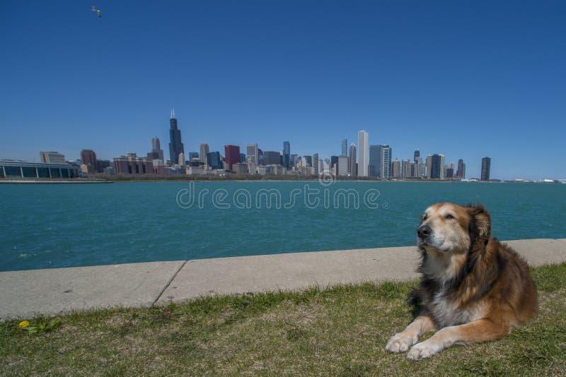 Cane che gode dell'orizzonte di Chicago fotografia stock