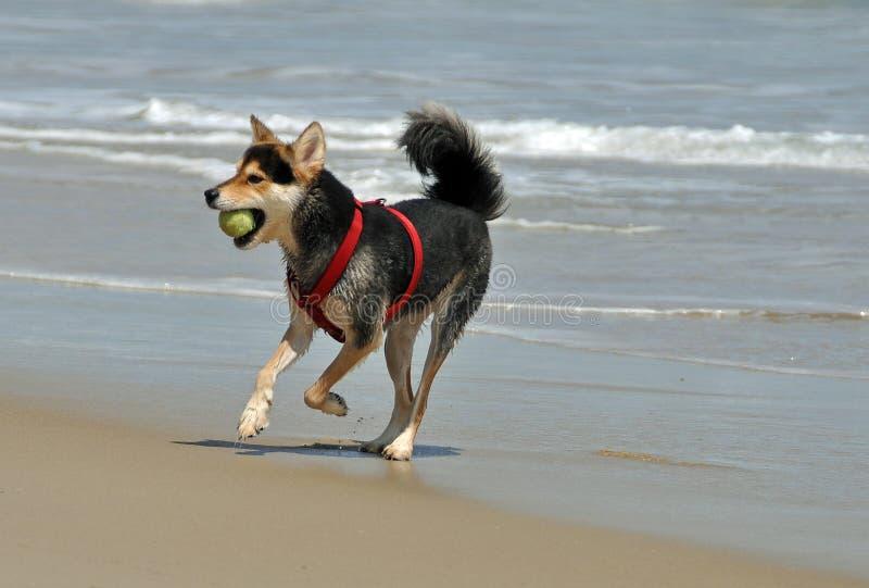 Cane che insegue palla sulla spiaggia immagine stock