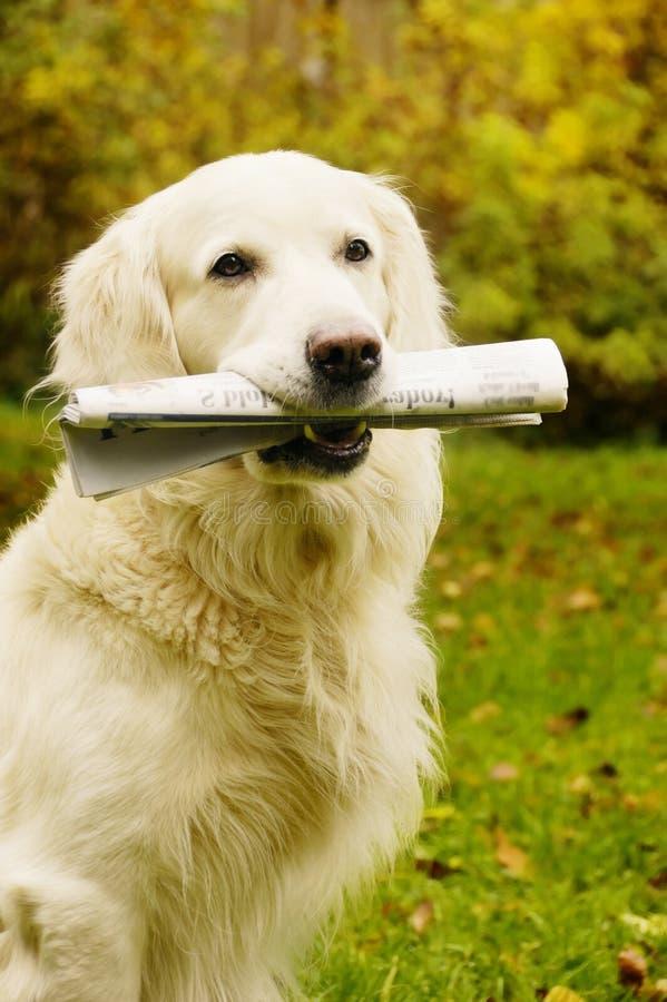Cane che porta giornale immagine stock