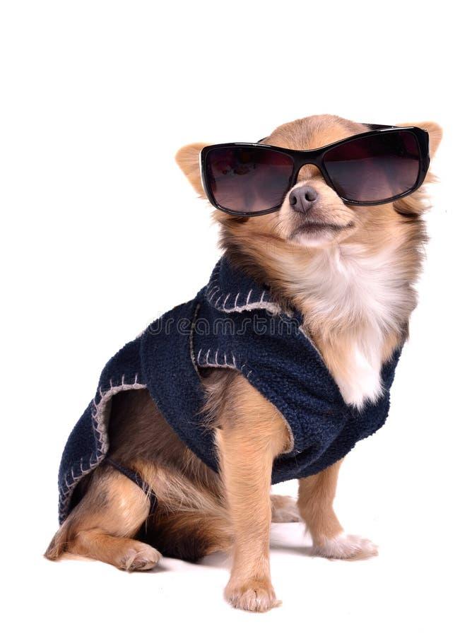 Cane che porta rivestimento scuro e gli occhiali da sole neri fotografia stock libera da diritti