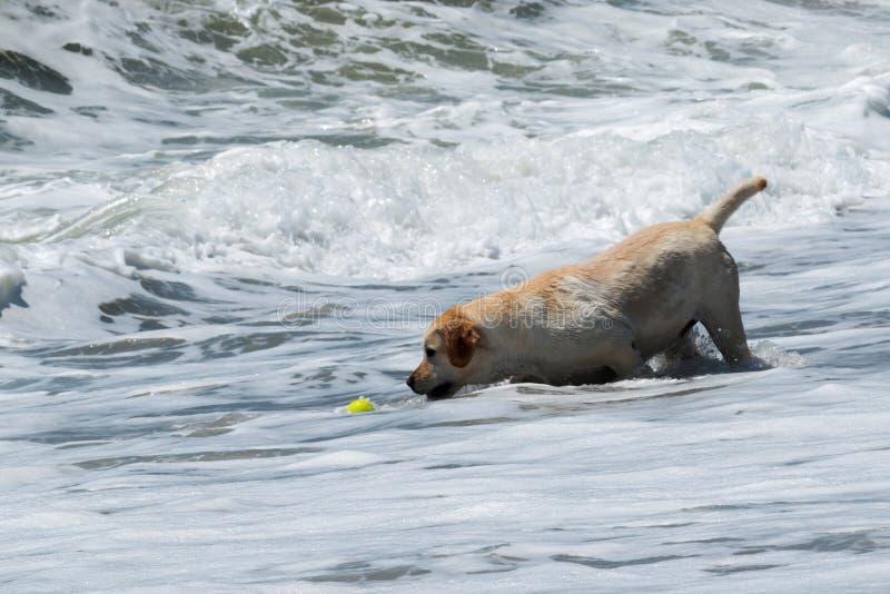 Cane che recupera pallina da tennis gialla dall'oceano fotografie stock libere da diritti