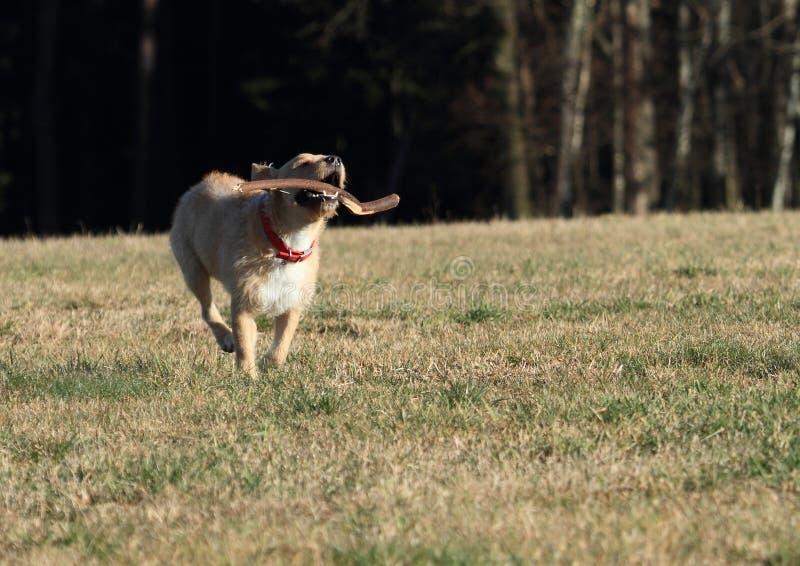 Cane che recupera un bastone fotografia stock libera da diritti