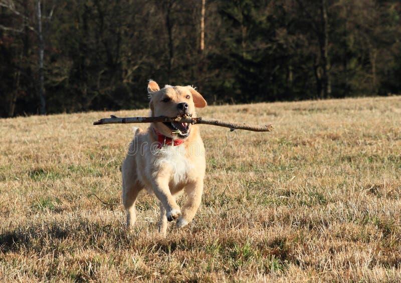 Cane che recupera un bastone immagini stock libere da diritti