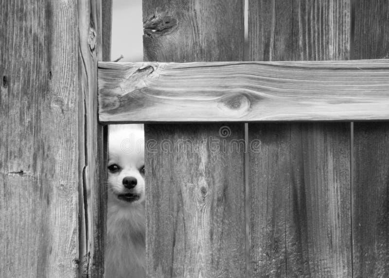 Cane che sbircia tramite il recinto fotografie stock libere da diritti