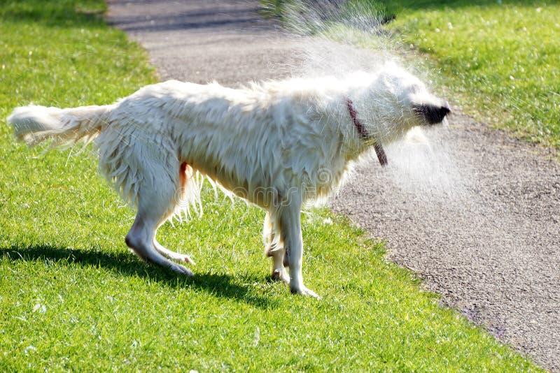 Cane che scuote acqua fuori immagine stock