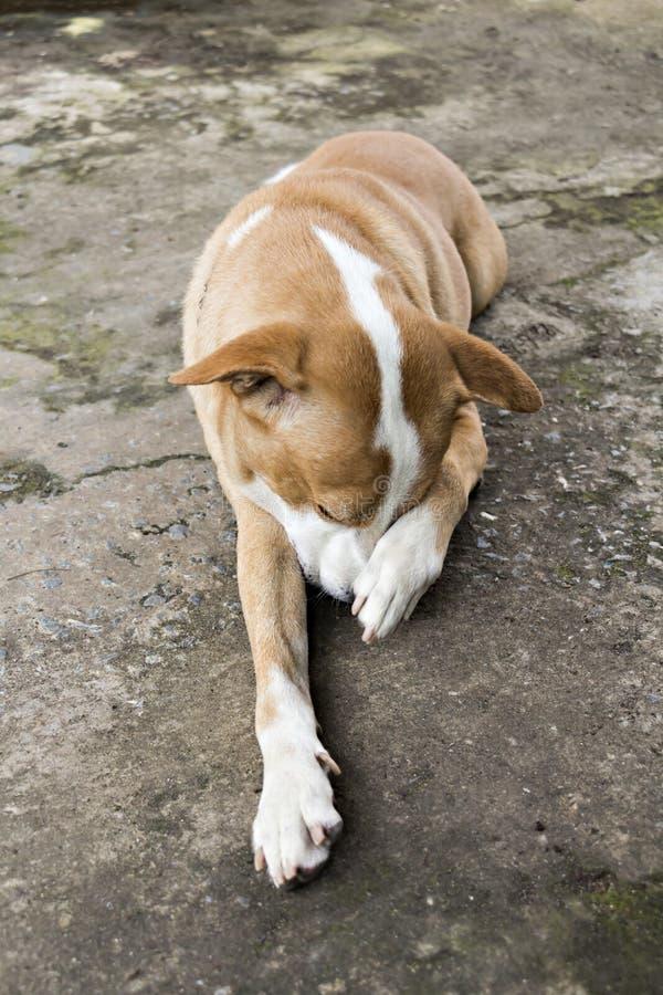 Cane che sembra malato solo annoiato triste immagini stock libere da diritti