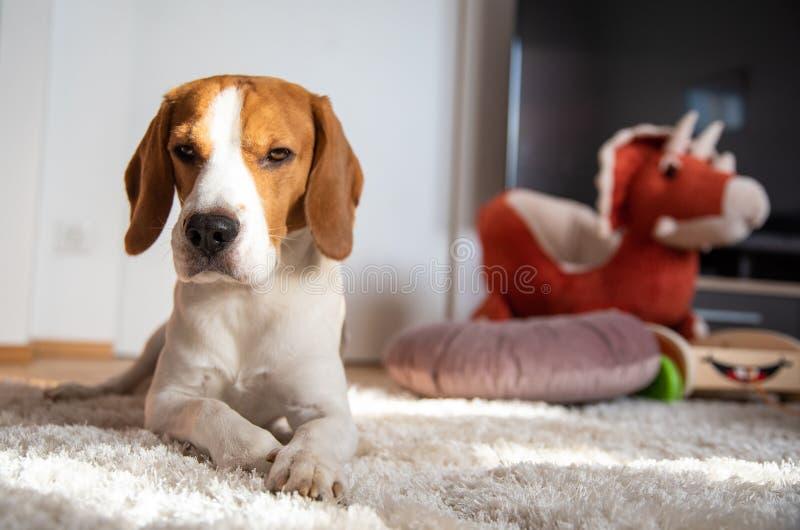 Cane che si riposa su un pavimento nella stanza luminosa accanto ai giocattoli dei bambini fotografia stock