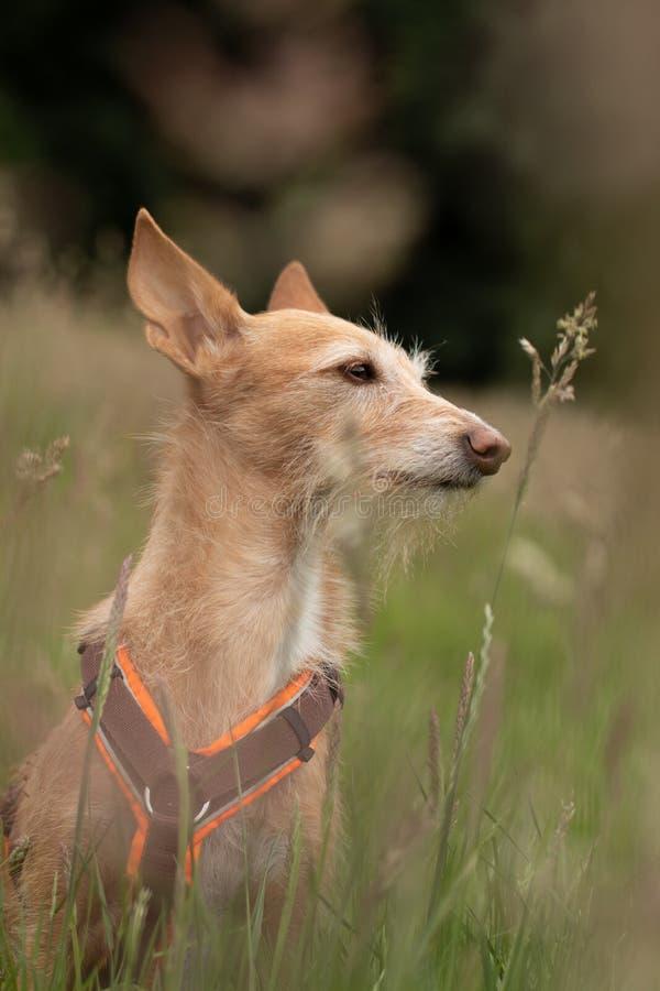Cane che si siede nell'erba, mini podenco fotografia stock libera da diritti