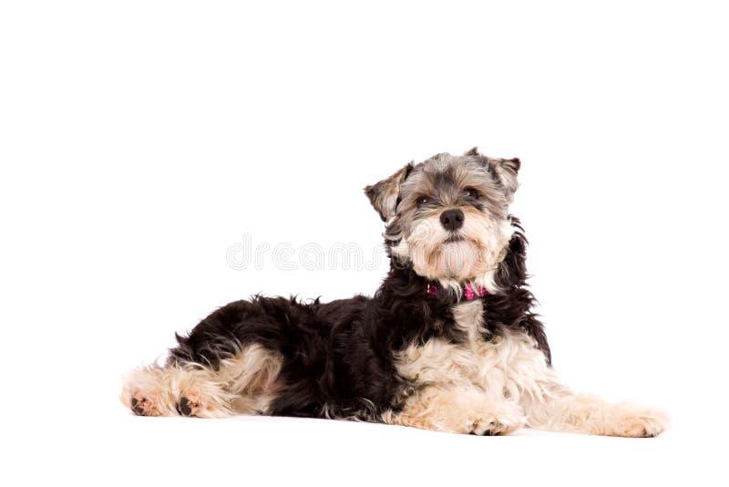 Cane che si trova su una superficie bianca immagini stock