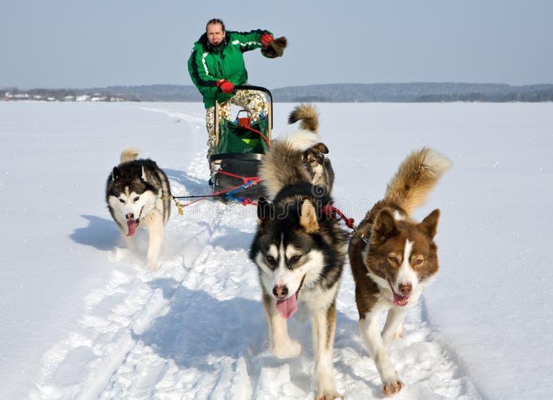 Cane che sledding fotografia stock libera da diritti
