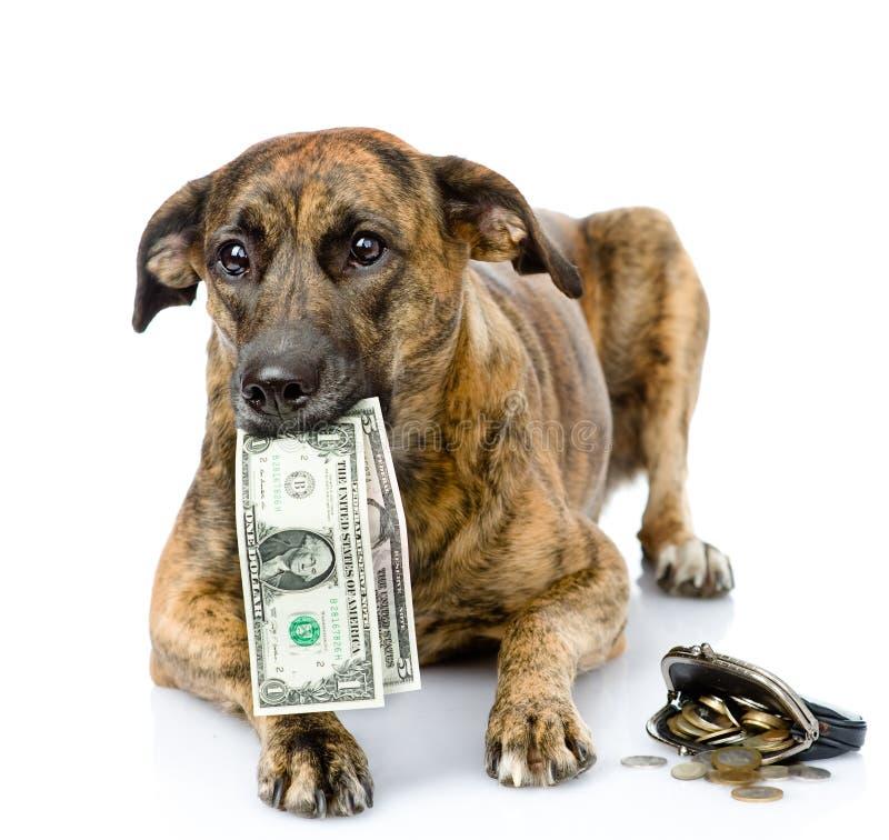 Cane che tiene i dollari nella sua bocca Su fondo bianco fotografie stock libere da diritti