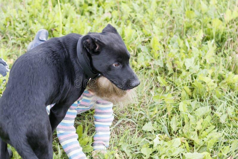 Cane Colore nero Guardia giurata Ragazza che si trova sull'erba abbia tonalit? fotografia stock libera da diritti