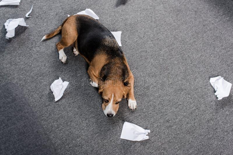 Cane colpevole del cane da lepre con carta lacerata che si trova sul pavimento a casa fotografia stock libera da diritti