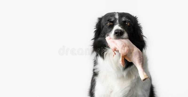 Cane con carne cruda in bocca fotografie stock