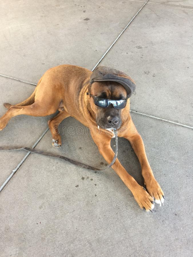 Cane con gli occhiali da sole ed il cappello immagini stock