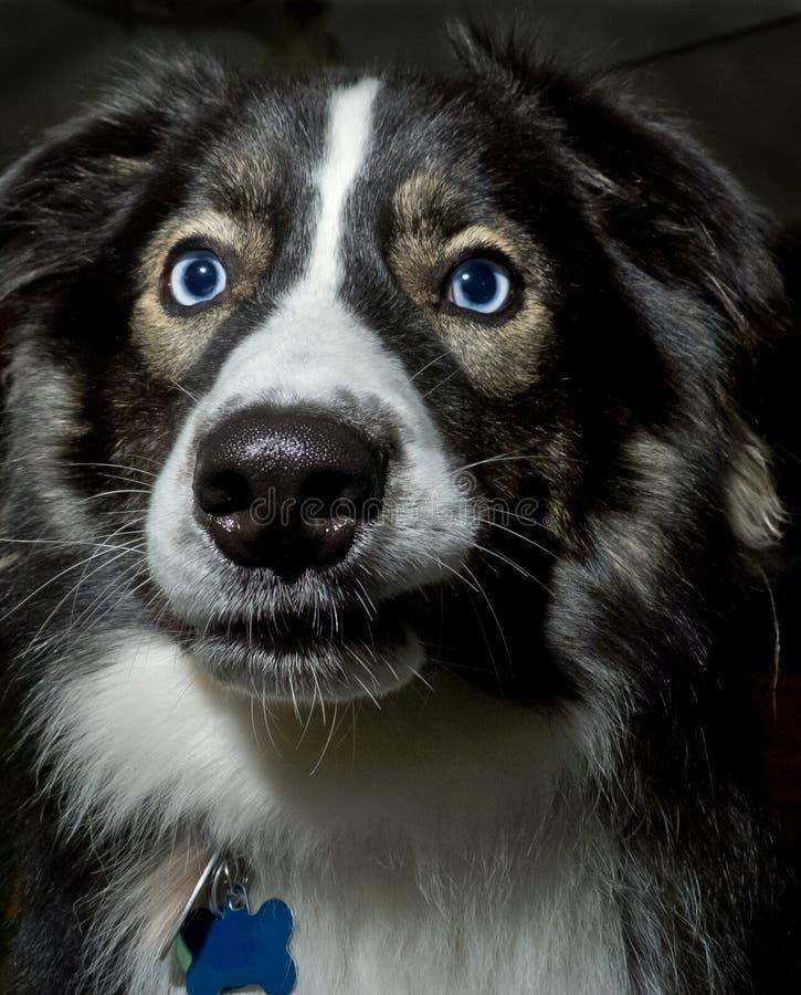 Cane con i bei occhi azzurri immagini stock