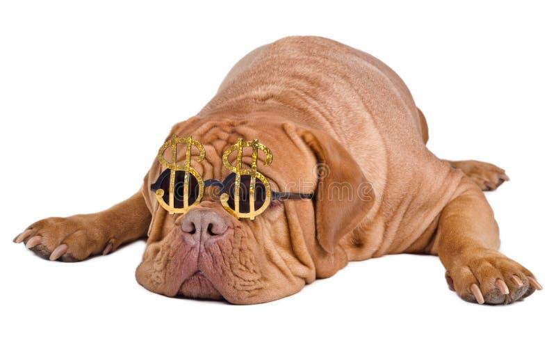Cane con i vetri divertenti con il segno del dollaro immagini stock