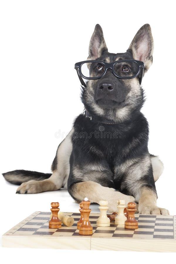 Cane con i vetri e gli scacchi fotografie stock
