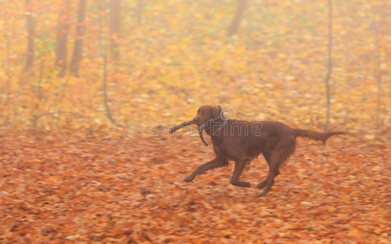Cane con il bastone nel parco di autunno fotografie stock libere da diritti