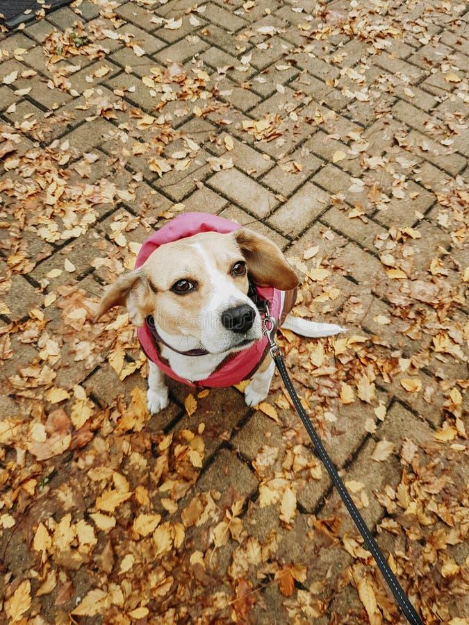 Cane con il cappotto che fa una passeggiata giù la via in autunno fotografia stock libera da diritti