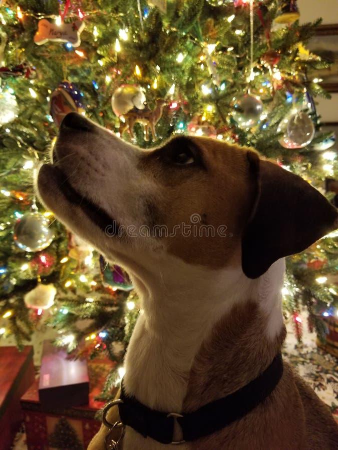 Cane con il Natale fotografie stock