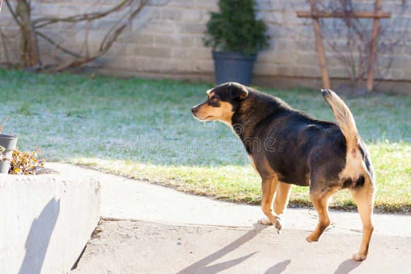 Cane con la coda alzata La parte posteriore del cane immagini stock