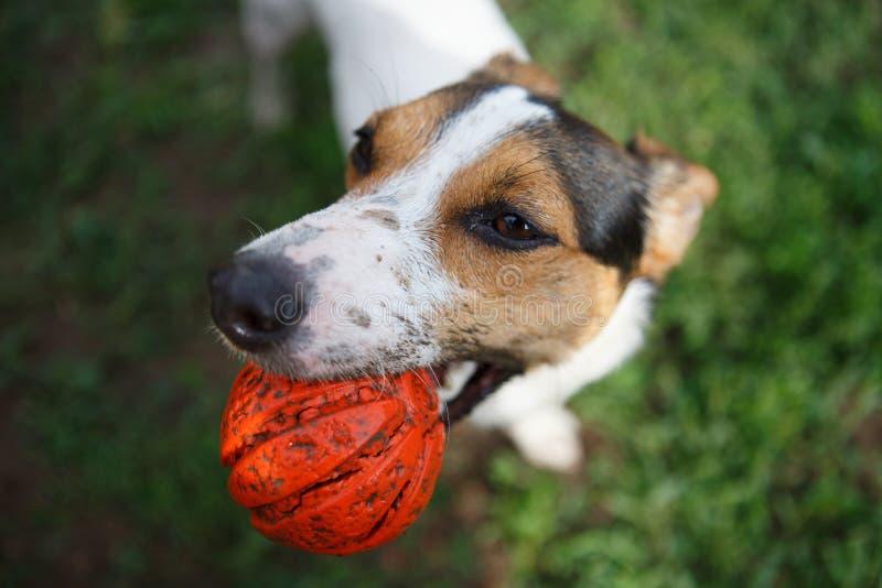 Cane con la palla in bocca immagini stock