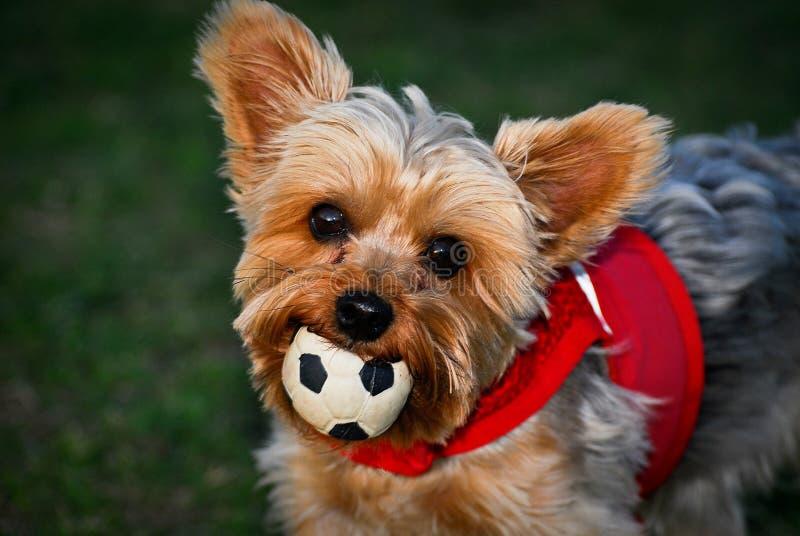 Cane con la sfera in bocca fotografia stock