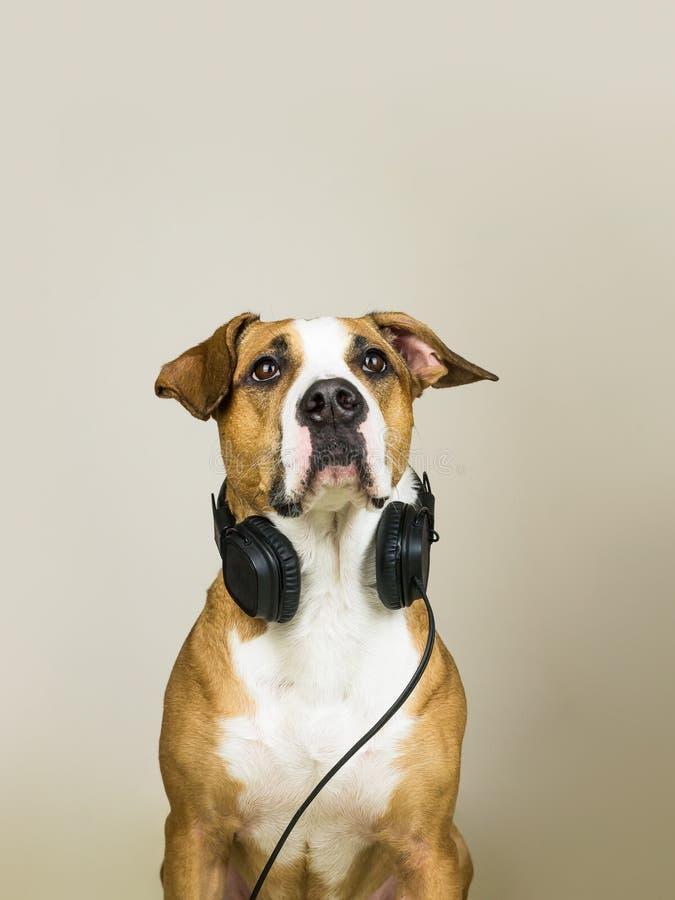 Cane con le cuffie come audiophile fotografia stock libera da diritti
