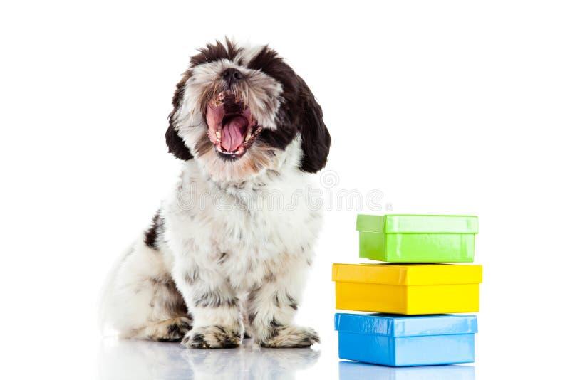 Cane con le scatole isolate su fondo bianco, cartolina del regalo fotografie stock libere da diritti