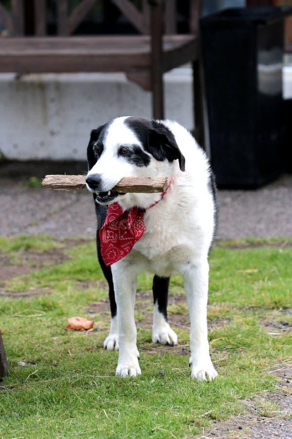 Cane con le sciarpe adorabili in Islanda immagine stock