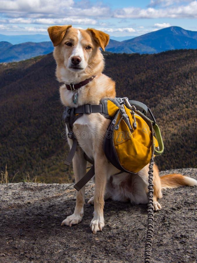 Cane con lo zaino sulla sommità della montagna fotografie stock libere da diritti