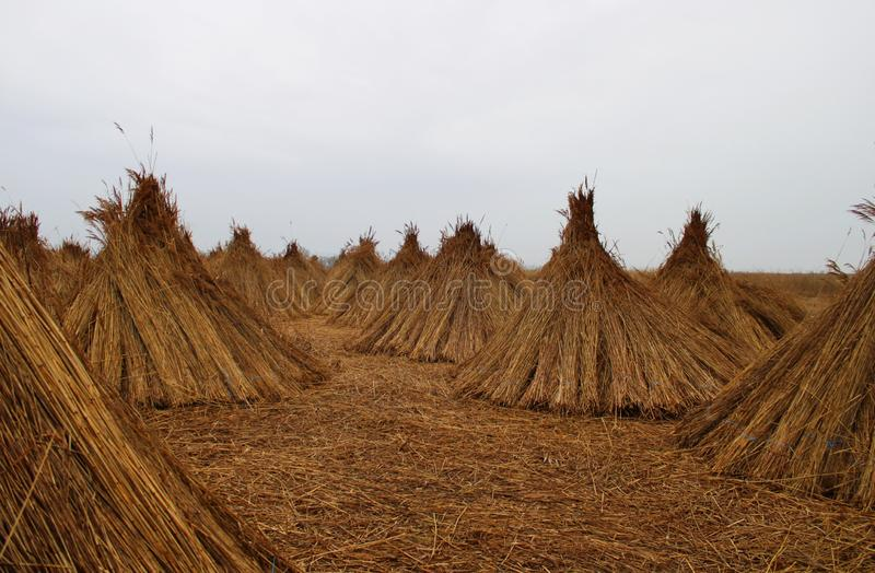 Cane-cones on a field. Near Gardony, Hungary stock photos
