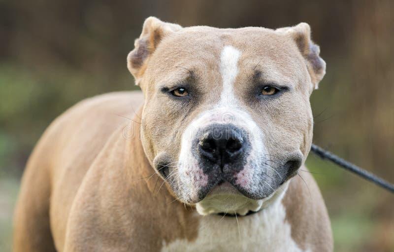 Cane corpulento del pitbull terrier di Staffordshire americano fotografia stock libera da diritti