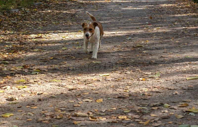 Cane in corsa per una passeggiata nel parco su uno sfondo autunnale immagini stock