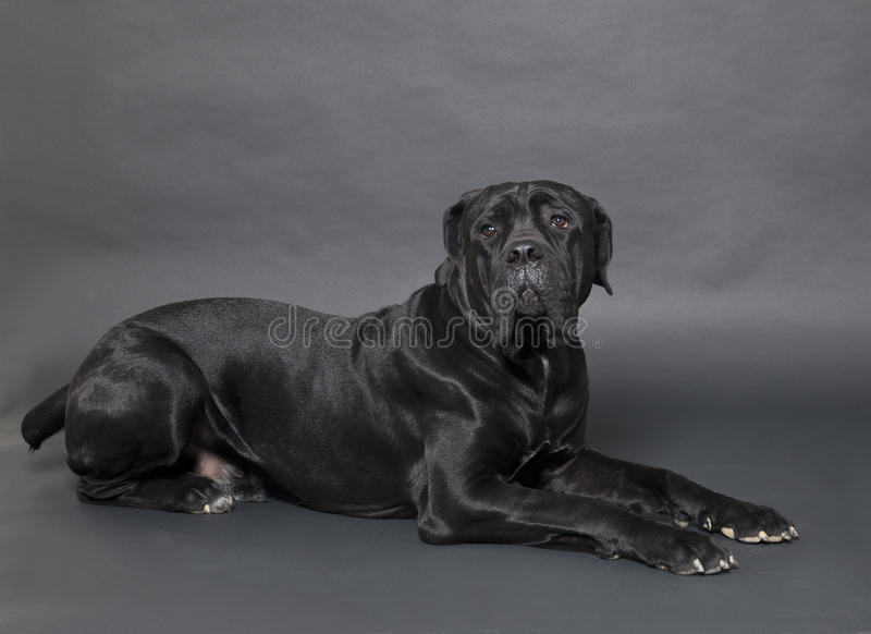 Download Cane Corso stock photo. Image of mammals, obedient, pets - 26749710