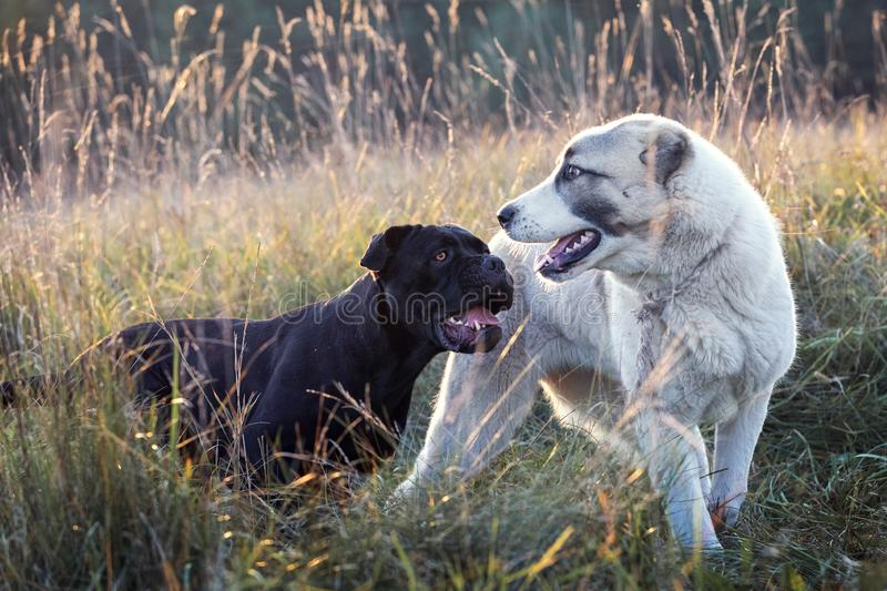 Cane corso and Central Asian Shepherd dogs amity paying. Two dogs, black and white play friendly in the meadow stock image
