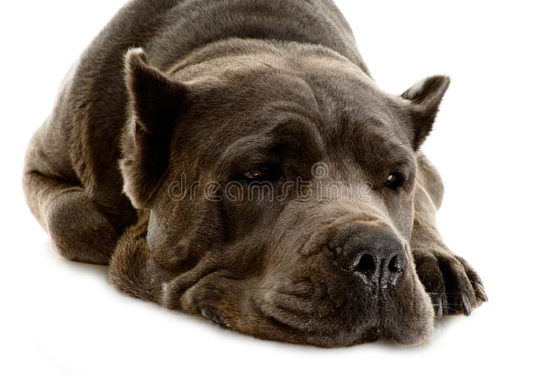 Download Cane Corso dog stock photo. Image of italian, obedient - 10323598