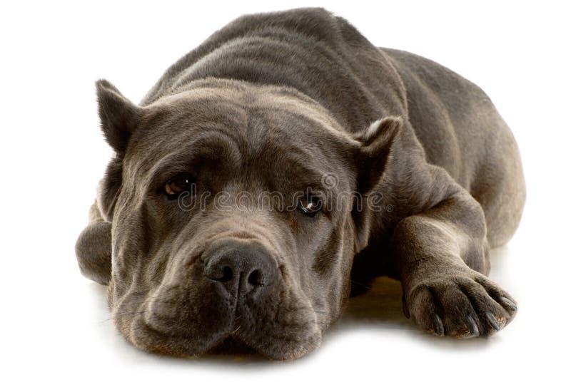 Cane Corso dog. On white background stock photos