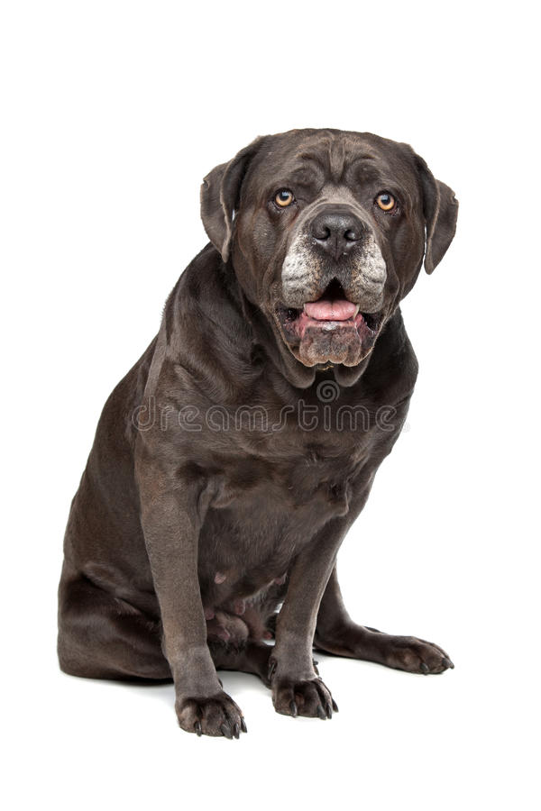 Download Cane Corso Dog Stock Photography - Image: 25875312