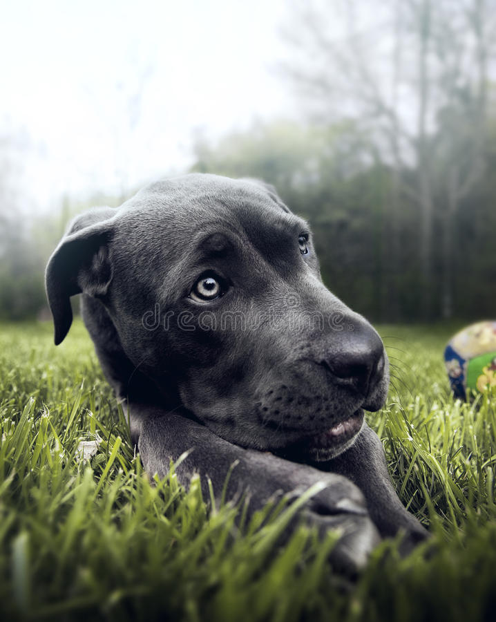 Download Cane corso dog stock photo. Image of affectionate, happy - 39503692