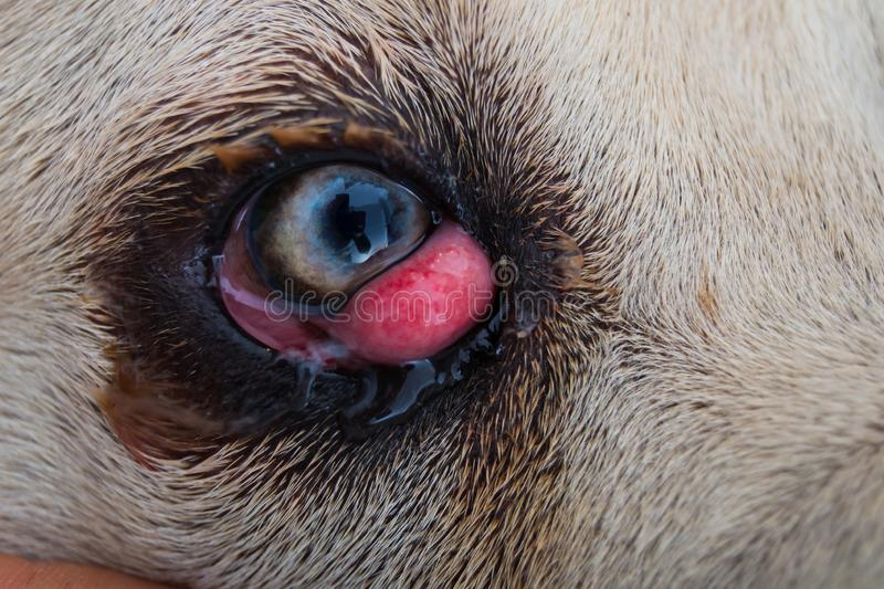 Cane corso dog breed with cherry eye. Close-up stock photography