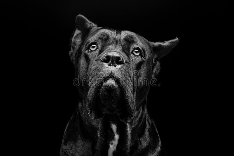 Cane corso dog. Closeup portrait of beautiful black Cane Corso female dog. Pure breed. Studio shot over black background. Copy space