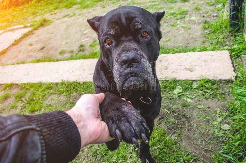 Cane Corso Dog Paws Man, concepto de amistad fotos de archivo libres de regalías