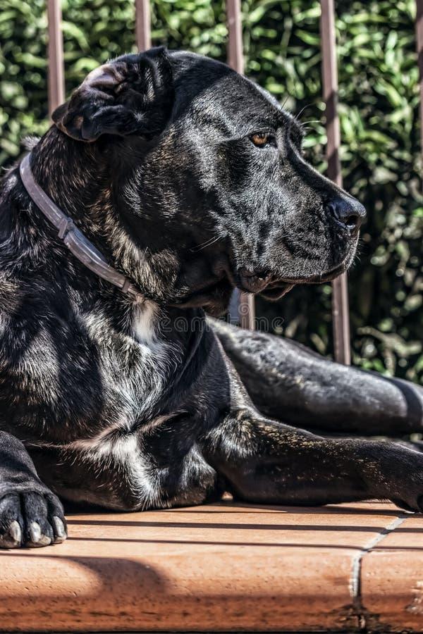 Cane Corso, Dog portret, close-up stock foto's